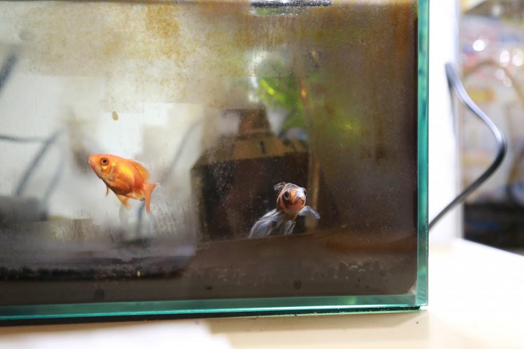 サンナナの金魚
